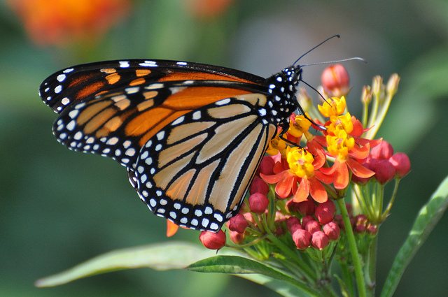 The Beauty of the Monarch Butterfly Spring Migration