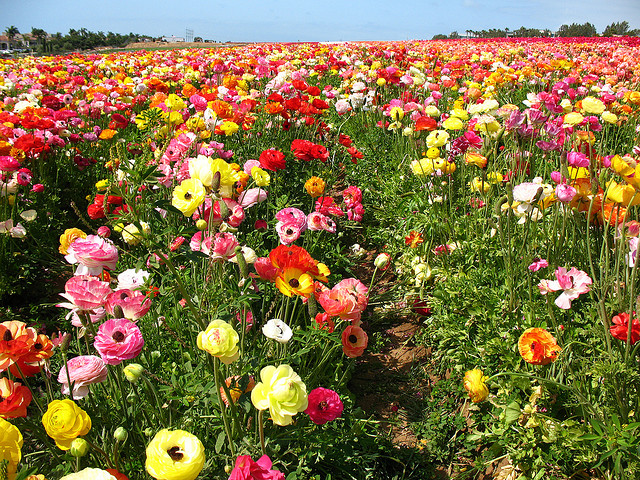 What's Hot in Southern California: The Flower Fields