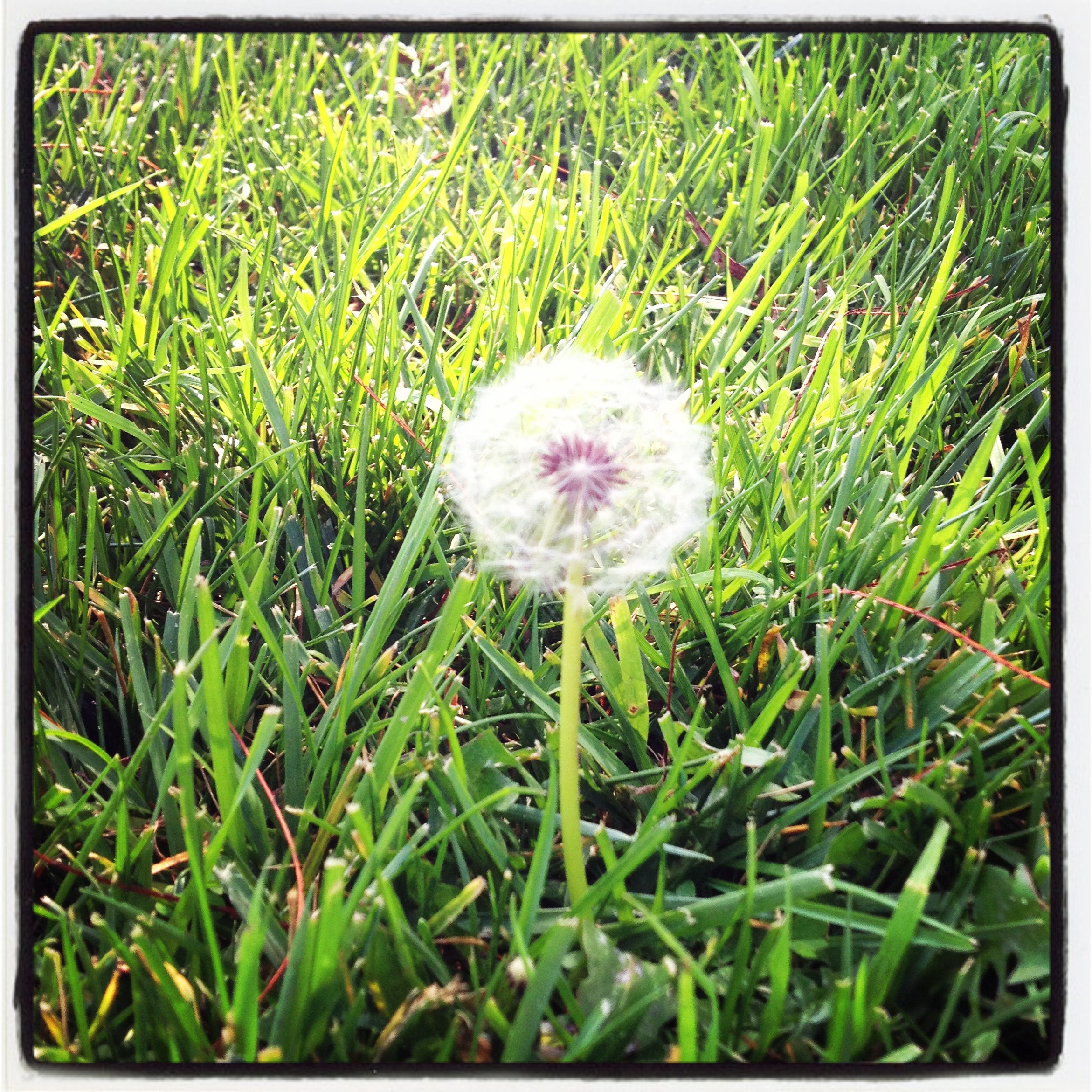 Instagram of the Week: The Beauty of the Dandelion