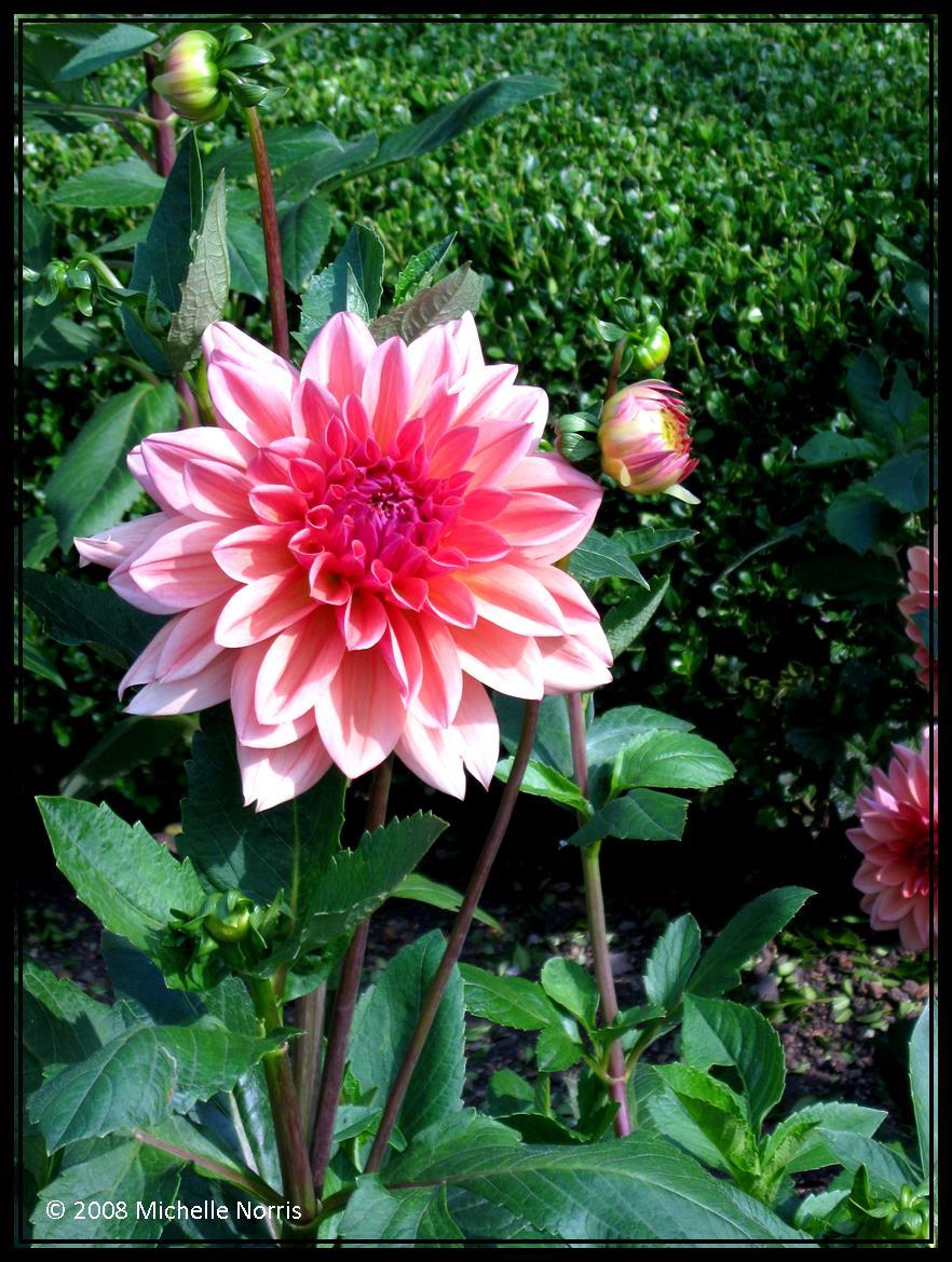 japanese garden flower