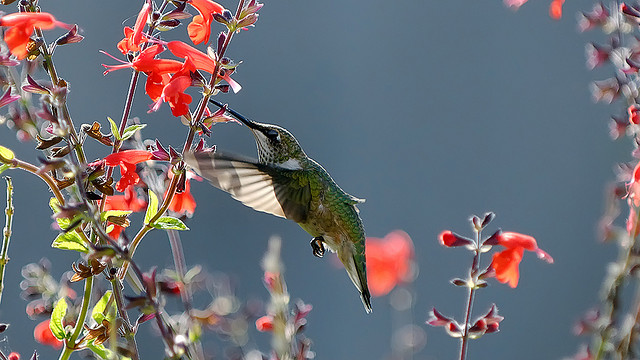 Photo.hummingbird.4078348870_85b986e0cf_z