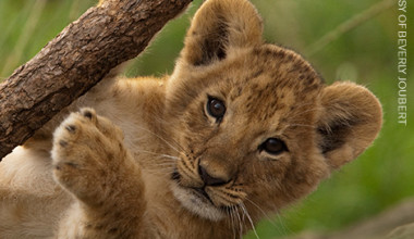 Support World Lion Day on August 10th