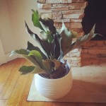 Picked up this baby Staghorn Fern at loweshomeimprovement yesterday andhellip
