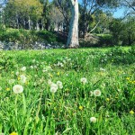 Came upon this field of dandelions on my morning walk!hellip